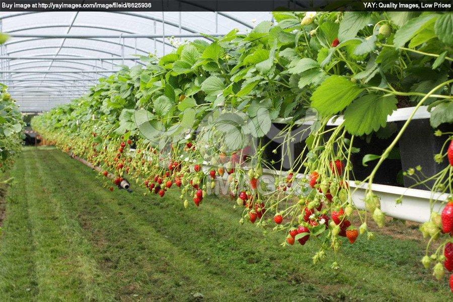 سالانه ۳۰۲ هزار تن محصول گلخانهای در اصفهان تولید میشود