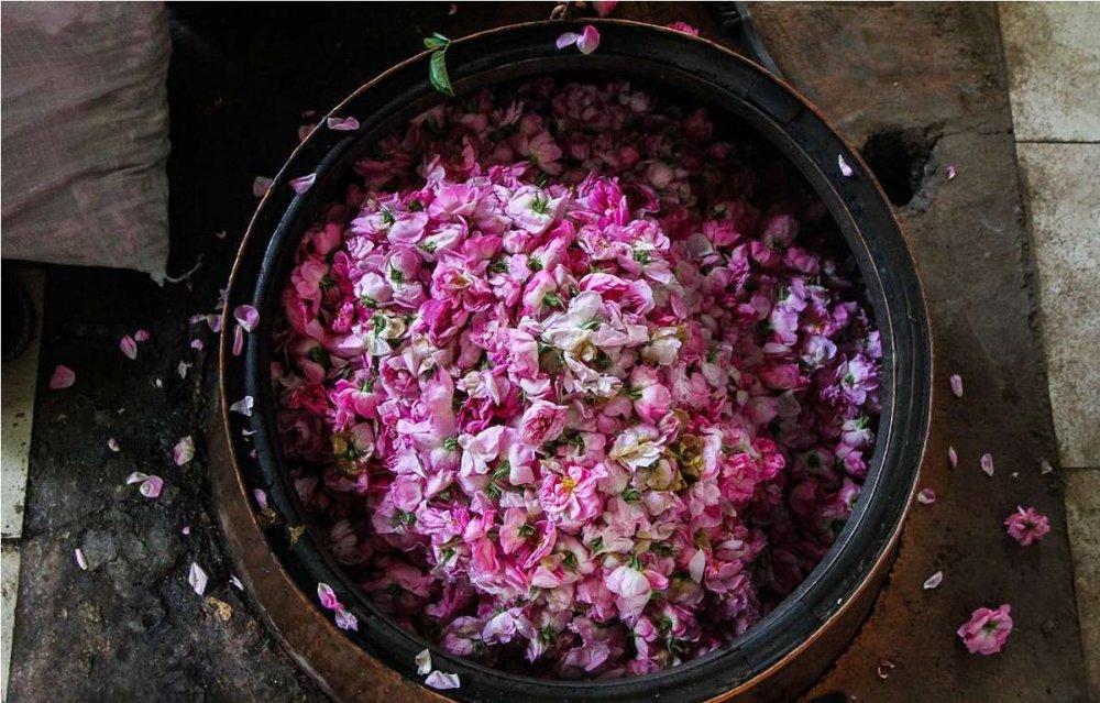 برگزاری آیین نمادین گلابگیری در چرمهین