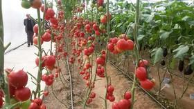 صادرات ۴ هزار تن از محصولات گلخانهای تیران و کرون