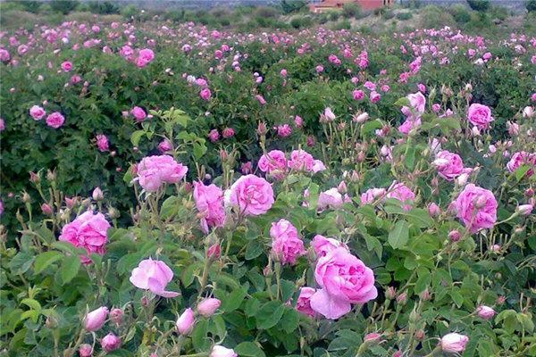 آغاز برداشت گلمحمدی از مزارع گلپایگان