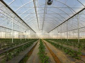 وجود 47 هکتار فضای گلخانه در شهرضا/تولید سالانه بیش از پنج میلیون شاخه گل