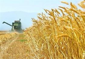 آغاز برداشت گندم از ۱۳۰۰ هکتار مزارع شهرضا