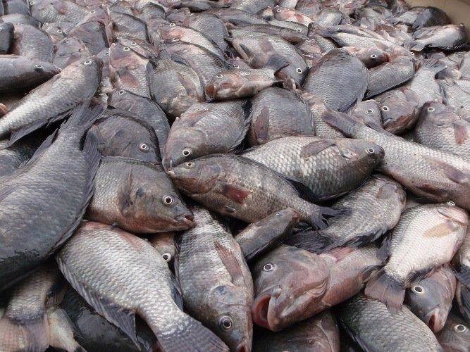 مزرعه پرورش ماهی متخلف به دادگاه معرفی شد