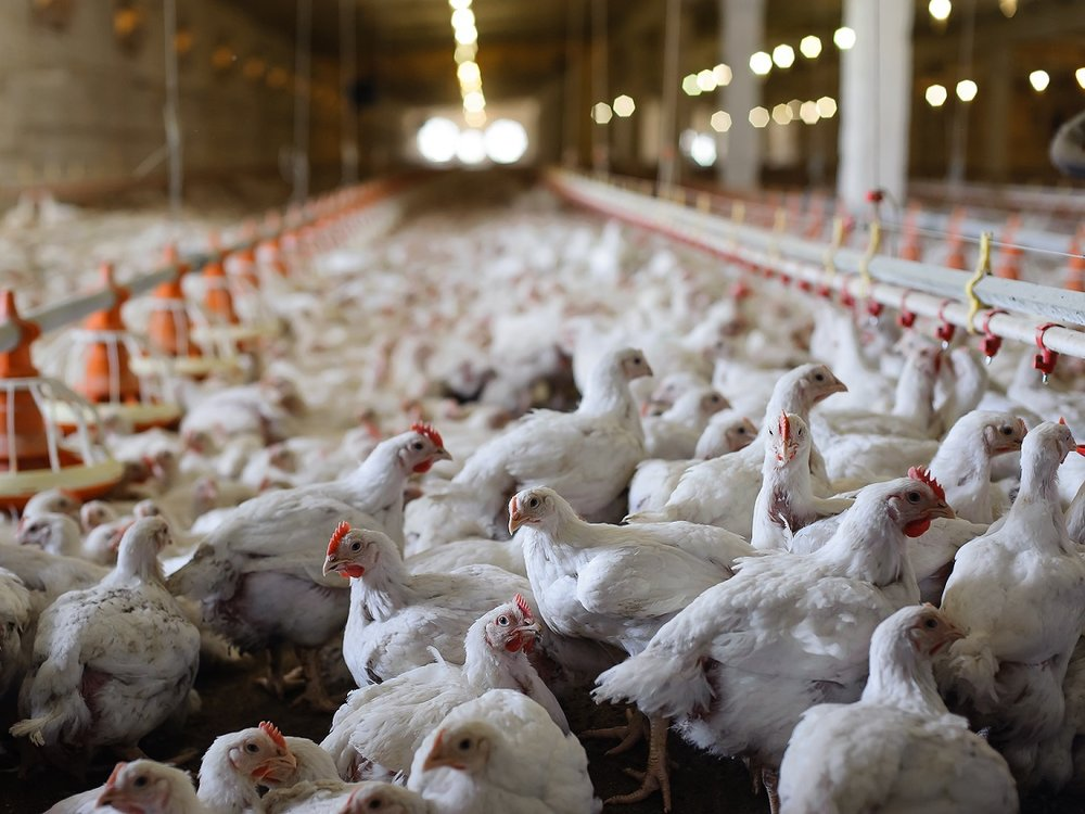 Iran culls 1.4 million poultry to stem severe bird flu
