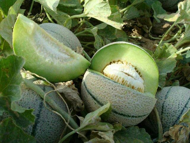 باران های بهاری محصولات جالیزی بادرود را کاهش داد