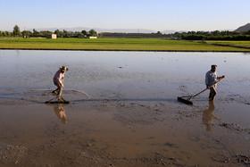 بحران بی سابقه آب، مانع کشت برنج شد