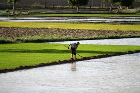 قانون خاصی برای جلوگیری از کشت برنج وجود ندارد
