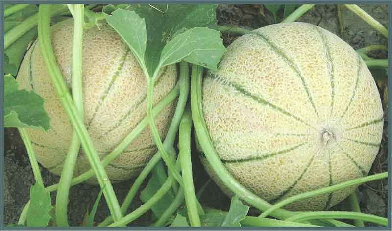 میوه ای پر عطر و طعم که دارای ویتامین A و C است