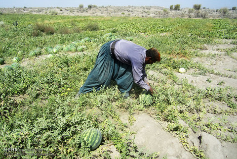امسال گوجه فرنگی و هندوانه به جای چغندر قند کشت شده است