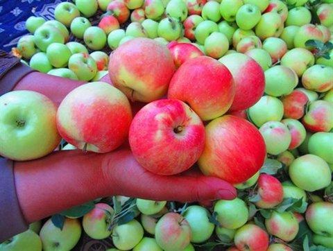 امسال 1700 تن سیب گلاب در سمیرم برداشت شد
