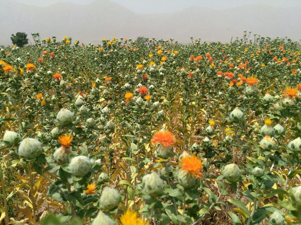 اجرای طرح مبارزه مکانیکی با آفات گونههای گیاهان دارویی