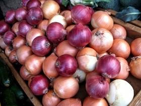 گلپایگان پیشرو در کشت محصول پیاز ارگانیک