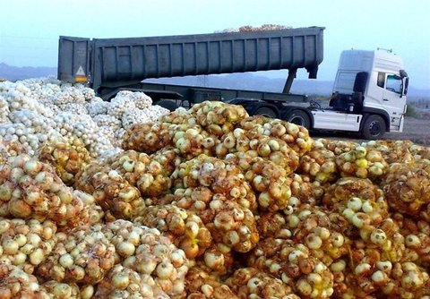 تولید ۶۰۰ هزار تن پیاز مازاد در کشور