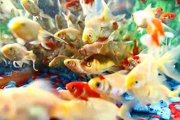 لزوم ایجاد تشکلهای تولیدی ماهیان خاویاری و زینتی