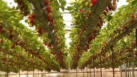 شهرضا از مهمترین قطب های تولید محصولات گلخانه ای استان