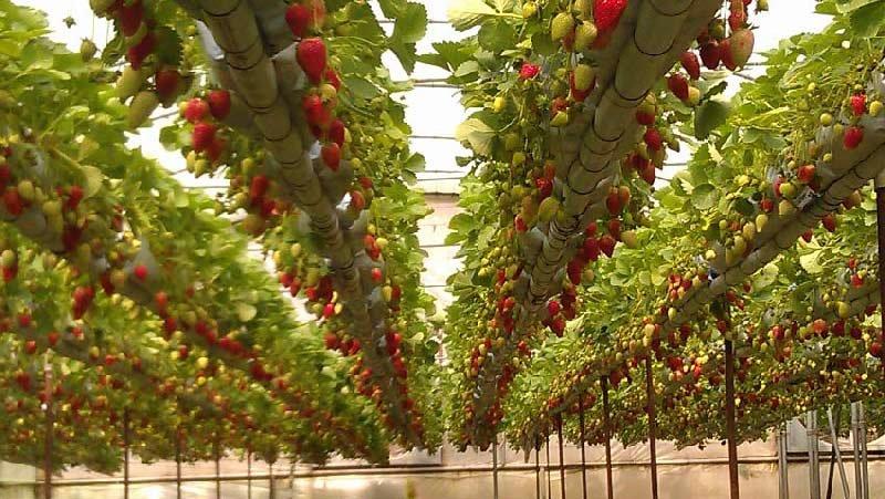 تیر خلاص صادرات بر پیکر گلخانههای گلپایگان