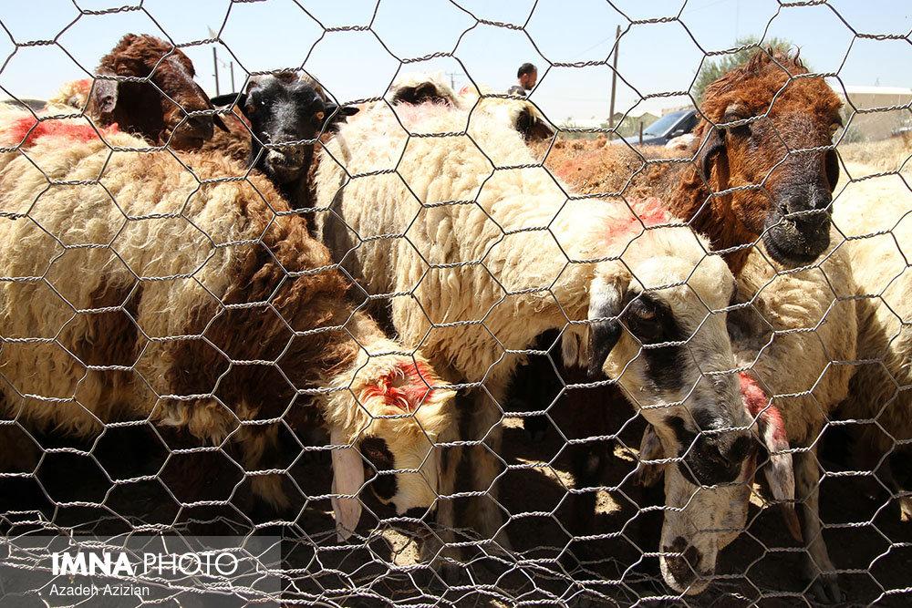 کشف سوخت و گوسفند قاچاق در تیران وکرون