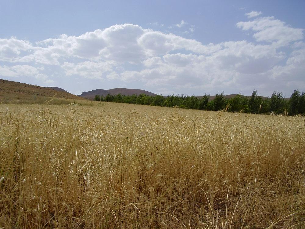 استفاده از منابع آبی جدید برای کشت پاییزی در دهاقان ممنوع!