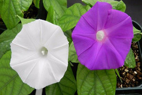 """تغییر رنگ گل """"نیلوفر """" با کمک ژنتیک میسر می شود"""