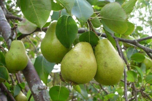 تولید گلابی در اصفهان ۵۵ درصد افزایش داشته است
