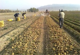 پرداخت ۱۵ میلیارد ریال مطالبات سیب زمینی کاران استان
