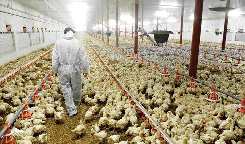 تامین سالانه ۱۲۰ میلیون دوز واکسن برای مقابله با آنفلوآنزای فوق حاد پرندگان