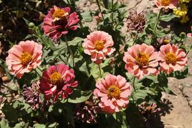 چشم نوازی گلهای داودی در روستای کلارتان