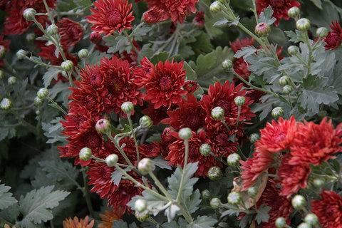 کاشت گلهای پاییزی در بوستانهای کرمانشاه