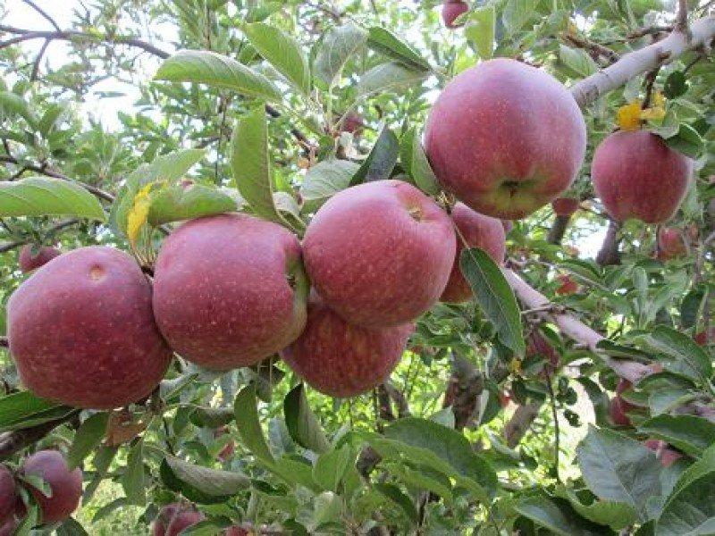 عوارض عجیب زیادهروی در مصرف سیب