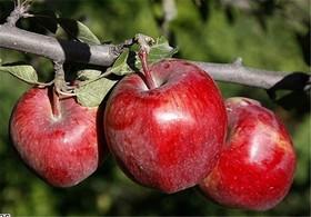 چرا مبتلایان به دیابت باید سیب بخورند؟