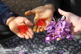 Saffron Harvest in Natanz, Isfahan Province