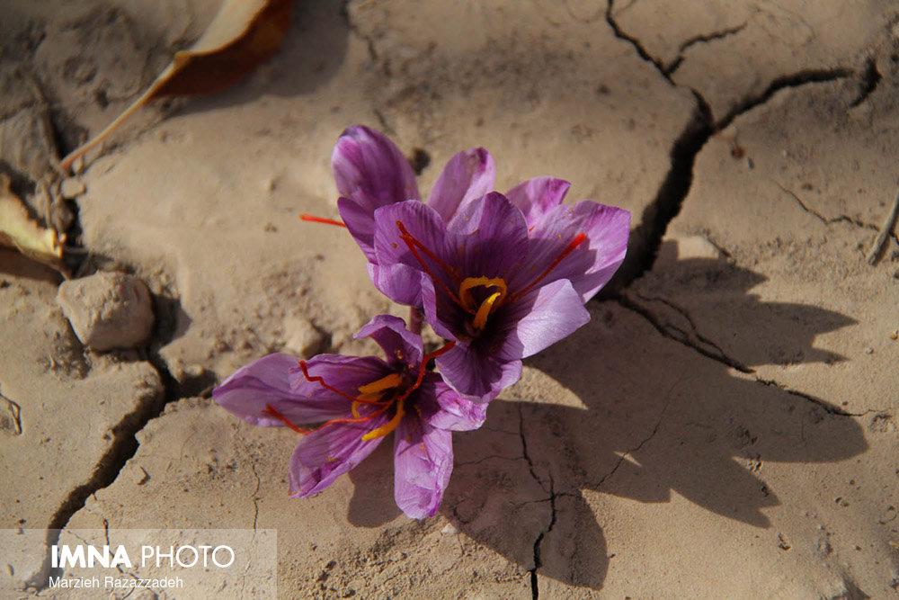 زعفران از نمادهای خام فروشی گیاهان دارویی است