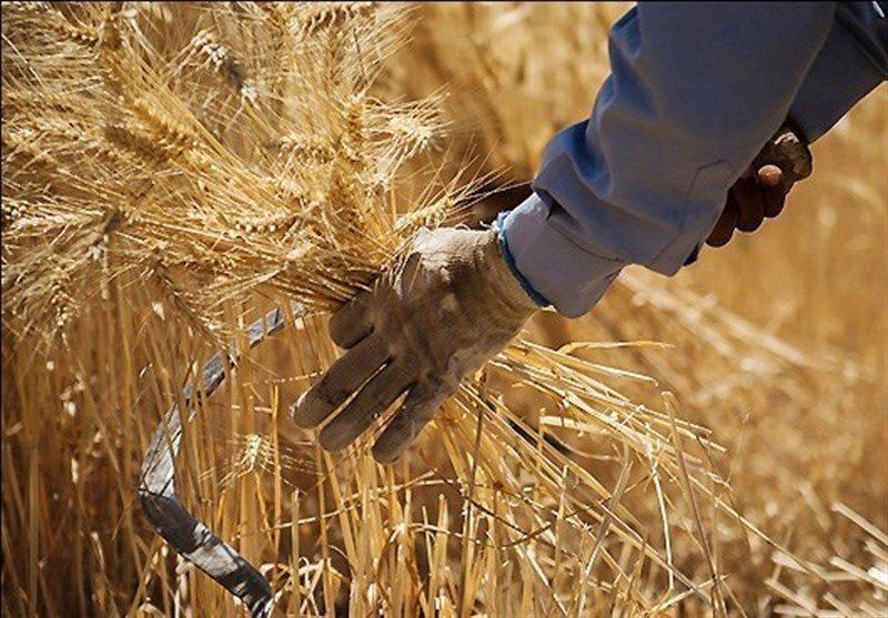 کاهش چشمگیر مساحت کشت گندم در اصفهان