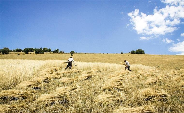 ۸ میلیون تن از گندم تولیدی کشور به روش دیم است