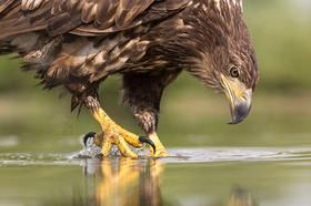 یک بهله عقاب طلایی در منطقه کرکس رهاسازی شد
