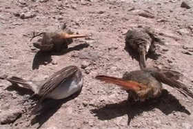 آنفلوآنزای فوق حاد در پرندگان وحشی اصفهان مشاهده نشد