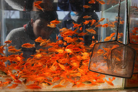 مسئولیت ماهیهای قرمز را بپذیریم