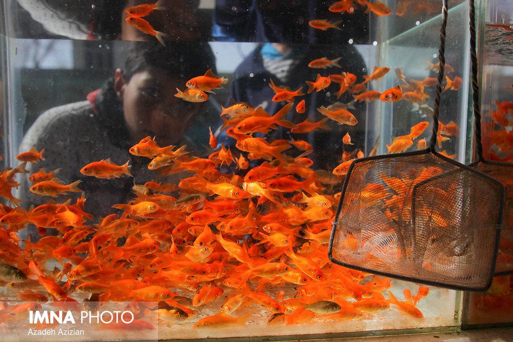 ماهی قرمز از چین وارد نمیکنیم