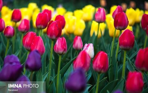 برگزاری نمایشگاه و جشنواره گلهای لاله از ۱۵ فروردین ماه در اراک