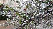 سرمازدگی درختان