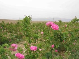 بوی گل را از چه جوییم، از گلاب...