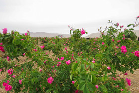 توسعه مزارع زعفران و گل محمدی در شهرضا