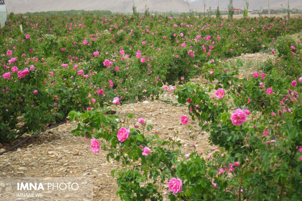 برداشت سالیانه ۵۰۰ تن گل محمدی از گلستان میمه