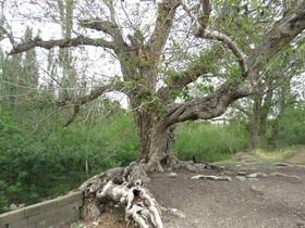 طبیعتی ۵۰۰ ساله