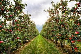 سیب سمیرم پنجه در پنجه بحران