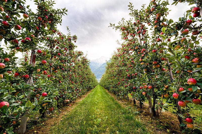 کاهش برداشت ۲۰ درصدی سیب درختی در فریدونشهر