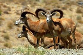 Animal symbol of Isfahan in danger