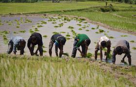 کشت برنج در شهرستان لنجان ۶۰ درصد کاهش یافته است