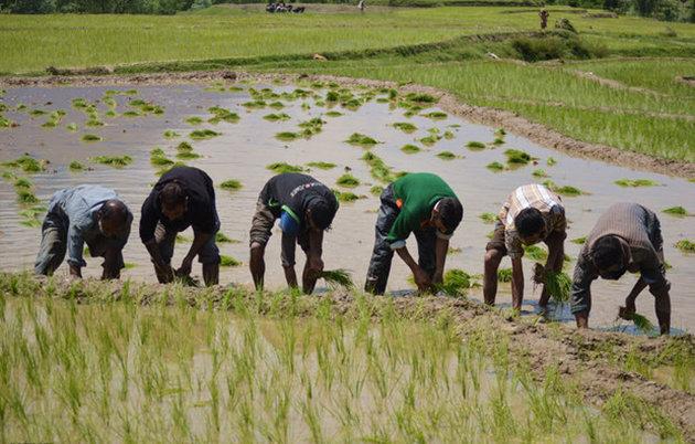 کاشت برنج در استان اصفهان به صفر خواهد رسید