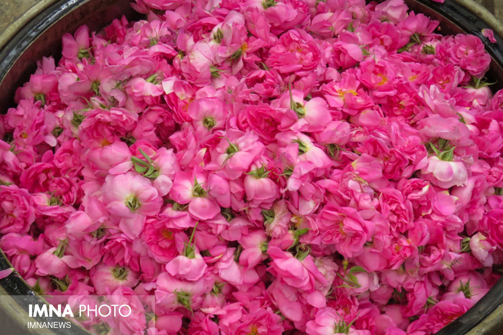 Redolent tradition of distilling Damask roses